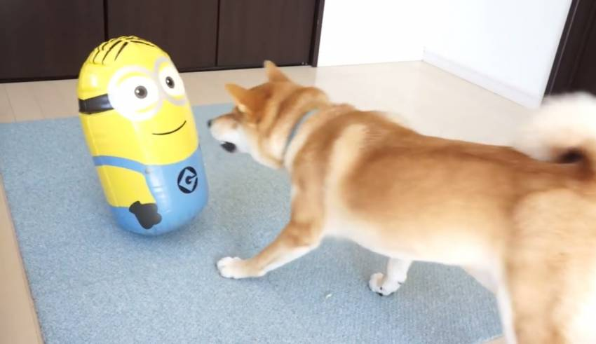 Amazing Shiba Inu Anime Adorable Dog - Shiba-inu-cute-fight-battle-Despicable-me-minions-toy-zoro-japan-youtube-video--850x491  Pic_708990  .jpg